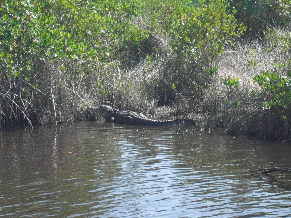 Alligator #1 (Punta Gorda area).