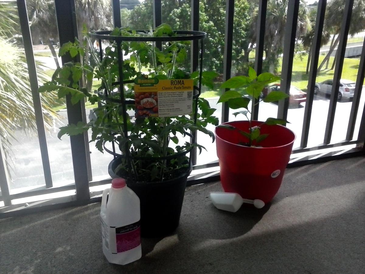 Tomato plant (3rd week).