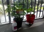Tomato plant (3rd week).