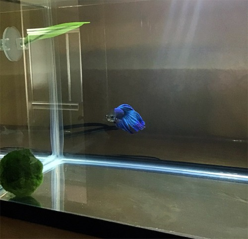 blue_betta_veiltail_male